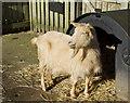 NZ2666 : Goat in Pets' Corner, Jesmond Dene by Paul Harrop