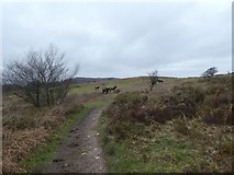 ST1734 : Lydeard Hill and Exmoor ponies by David Smith