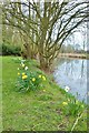 TL8008 : Daffodils beside the canal by Derek Voller