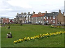 NT6779 : Daffodils at the Glebe in Dunbar by Jennifer Petrie