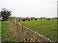 TL8398 : Grazing cattle by David Pashley