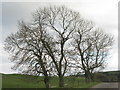 NT0443 : Ash trees at Crawcraigs by M J Richardson