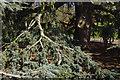 TQ1776 : Atlas Cedar - Kew Gardens by Stephen McKay