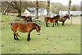 SS7549 : Exmoor ponies by Kipscombe Farm by Bill Boaden