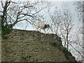 SO4870 : Goat at Richards Castle by Fabian Musto