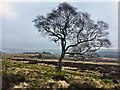 SK2579 : Solitary tree on Lawrence Field by Graham Hogg