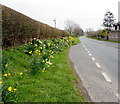 SN9926 : Daffodils at the NE edge of Libanus, Powys by Jaggery