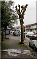 ST0789 : Pollarded tree near a BT phonebox, Broadway, Treforest by Jaggery