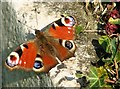 TG2408 : Peacock butterfly (Inachis io) by Evelyn Simak