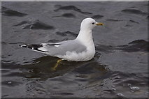 HP5605 : Common Gull (Larus canus), Westing beach by Mike Pennington
