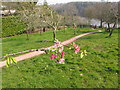 SX8457 : Stoke Gabriel Community Orchard with apple blossom by David Hawgood