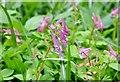 TG2408 : Flowering Bird-in-a-Bush (Corydalis solida) by Evelyn Simak