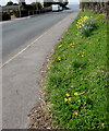 SO1110 : Bank of daffodils in Princetown by Jaggery