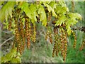 SO7944 : Pedunculate oak catkins by Philip Halling