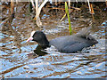 SD7807 : Coot on Manchester, Bolton and Bury Canal by David Dixon