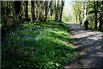 H1860 : Bluebells along a forest path by Kenneth  Allen