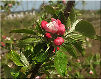 SX9066 : Apple buds, Nightingale Park by Derek Harper