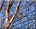 NZ1049 : Robin in a Birch tree by Robert Graham