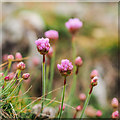 J4982 : Sea Thrift, Bangor by Rossographer