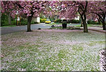 NO3801 : Cherry blossoms by Bill Kasman