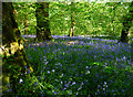 NR3362 : Bridgend Wood Bluebells by Mary and Angus Hogg