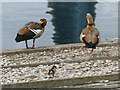 TQ3778 : Egyptian geese with gosling  by Stephen Craven