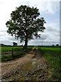 SO8937 : Oak tree beside a track by Philip Halling