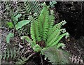TQ7718 : Soft shield fern by Patrick Roper
