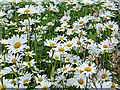 SO9163 : Ox-eye daisies by the Droitwich Junction Canal, Worcestershire by Roger  Kidd