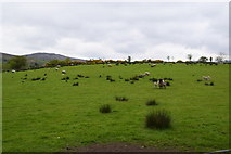 H4483 : Sheep, Ballynatubbrit by Kenneth  Allen