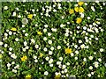 ST9592 : Daisies and dandelions by Philip Halling