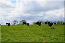 H4965 : Cows grazing, Moylagh by Kenneth  Allen