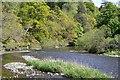NT2340 : The Tweed near Neidpath by Jim Barton