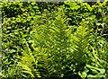 SX7248 : Ferns near Cloverwell Farm by Derek Harper