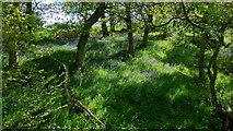 NH5857 : Spring in Drummondreach Oak Wood by Julian Paren