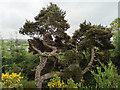 NH4657 : Venerable Scots Pine above Loch Kinellan by Julian Paren