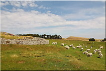 NY7968 : Sheep grazing outside the Roman fort by Rudi Winter