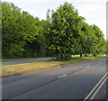 ST3091 : Trees in the middle of Malpas Road, Newport by Jaggery