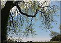SX7957 : Ash tree near Luscombe Cross by Derek Harper