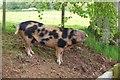 NT4830 : Friendly pig near Kirksyde by Jim Barton