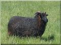 SZ6387 : Hebridean sheep, Bembridge Windmill by Robin Drayton