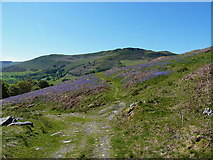 SJ0626 : Bridleway through a bluebell patch by Richard Law