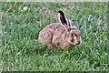 TM0877 : Wortham: Hare munching grass on the village green by Michael Garlick