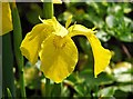TG2408 : Yellow iris (Iris pseudacorus) by Evelyn Simak