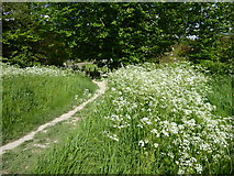 TQ5365 : Cow parsley on the Darent Valley Path by Marathon