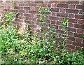 TG2408 : Caper spurge (Euphorbia lathyris) by Evelyn Simak
