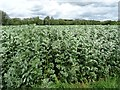 SP2136 : Fava or field beans by Philip Halling