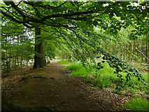 SJ5371 : Path through Delamere Forest by Stephen Craven