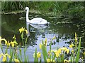 SK7330 : Swan on the canal by Graham Hogg