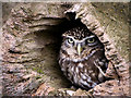 SJ5031 : Little Owl by David Dixon
